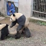 Panda fucking